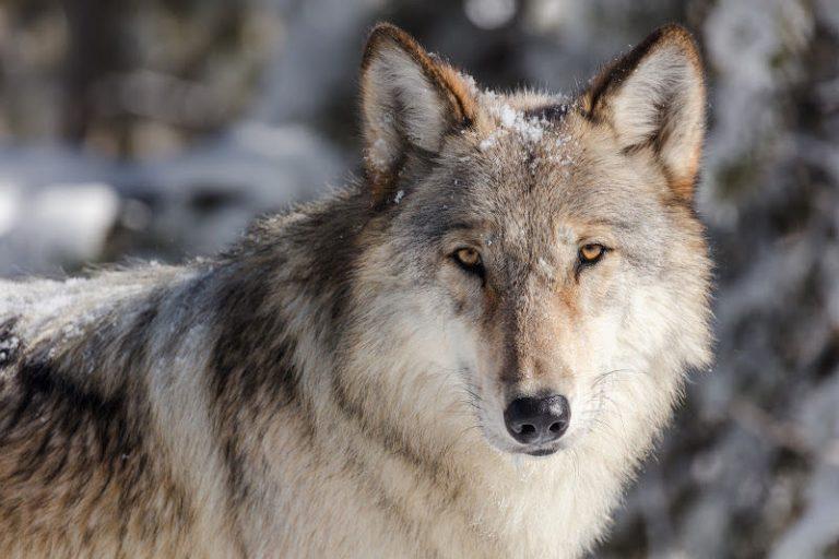 The Lone Wolf Myth